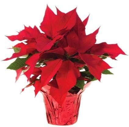 Poinsettia Delivery Suspended During Covid Pandemic